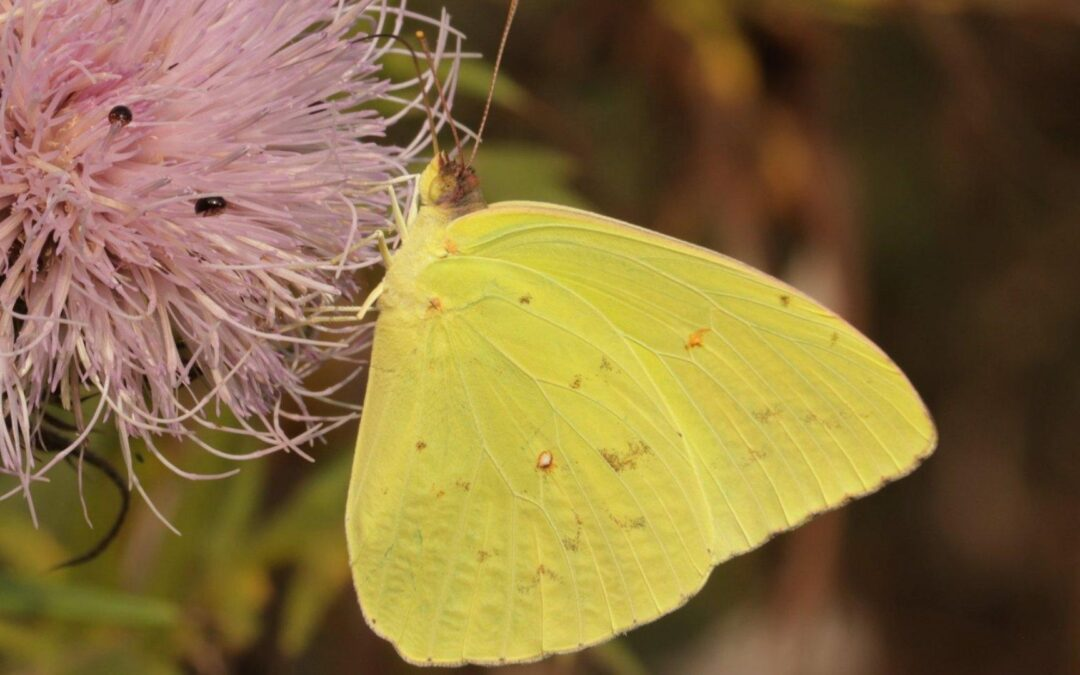 Cloudless Sulphur Butterflies Active in Late Summer