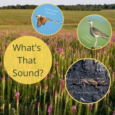 What's that sound? Prairie sound recording including scissor-tailed flycatcher, upland sandpiper and prairie mole cricket