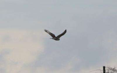 Ferruginous Hawk at Prairie State Park