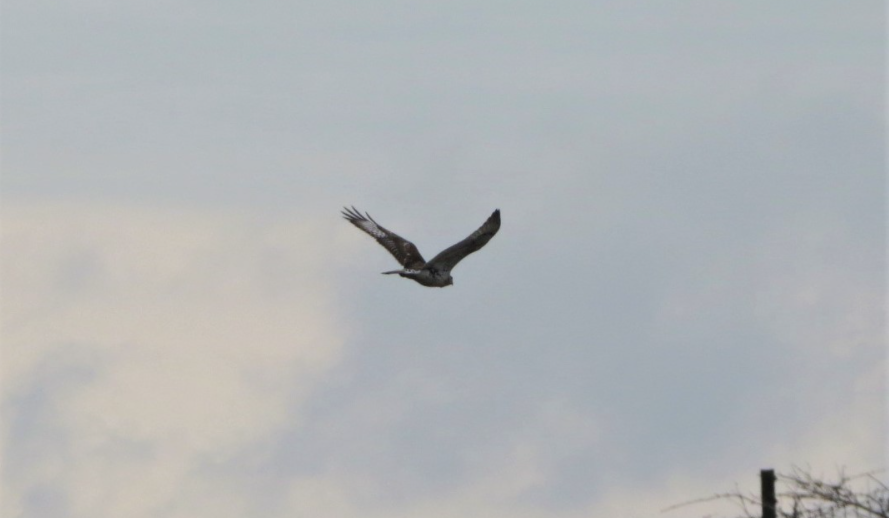 Ferruginous Hawk at Prairie State Park