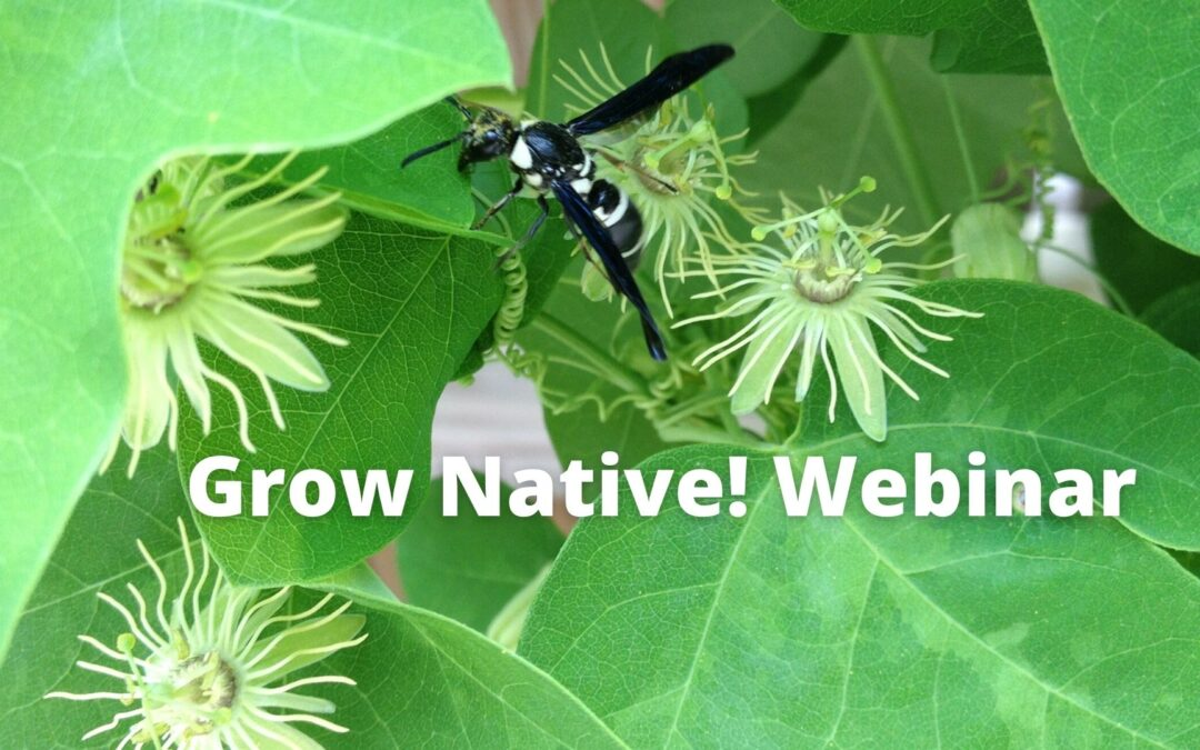 Grow Native! Webinar: Native Predatory Wasps with Heather Holm
