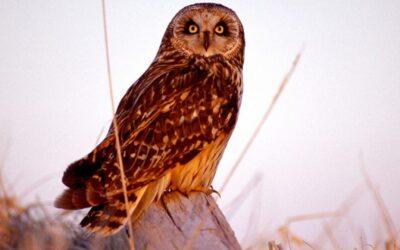 Wintering Short-eared Owls