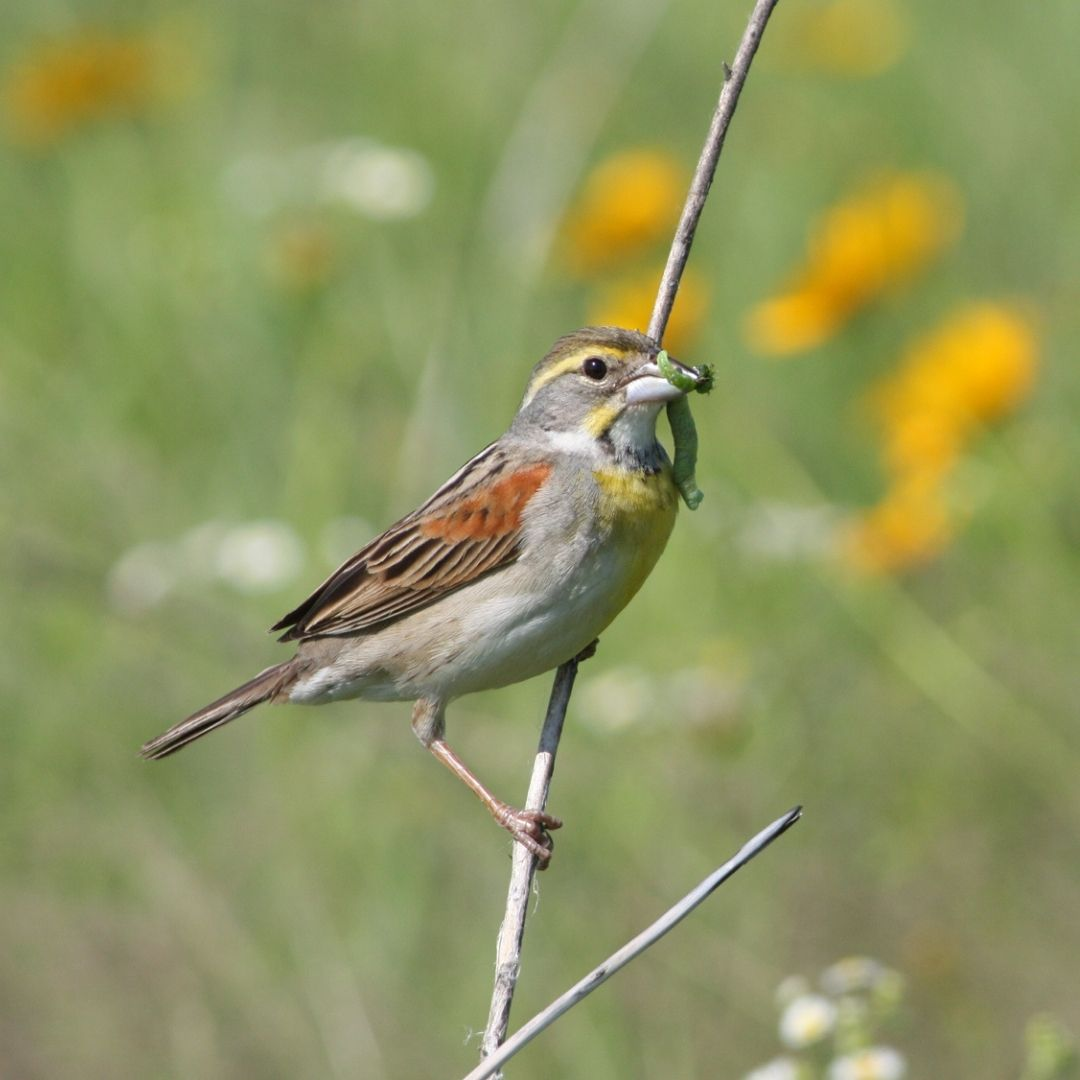 Small brown, yellow, and gray bird perching on a twig with a green caterpillar in beak