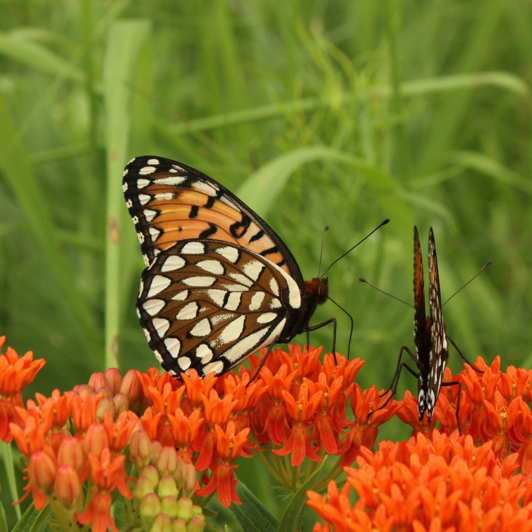 Regal fritillary butterflies, orange and brown with white spots, on bright orange butterfly weed plants