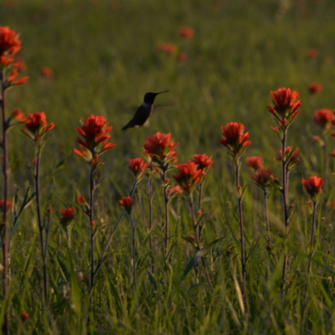Silhouette of a hummingbird hovering above bright orange indian paintbrush flowers