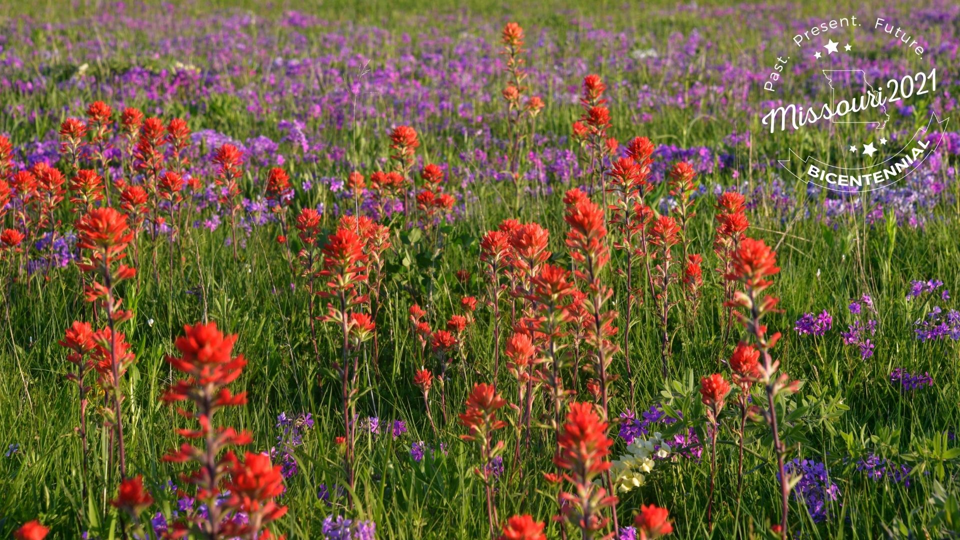 Bright red-orange indian paintbrush flowers and bright purple flowers in a green field