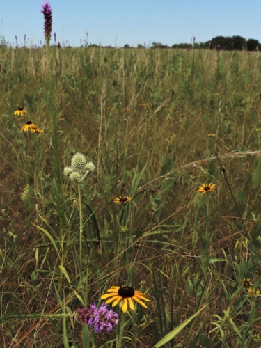 Green grassy field with purple stalk flowers, yellow flowers and light green/white rattlesnake master plants