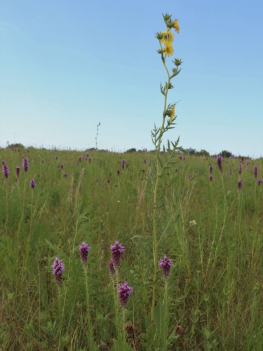 Green prairie with blue sky, tall yell compass plant flowers and purple blazing stars