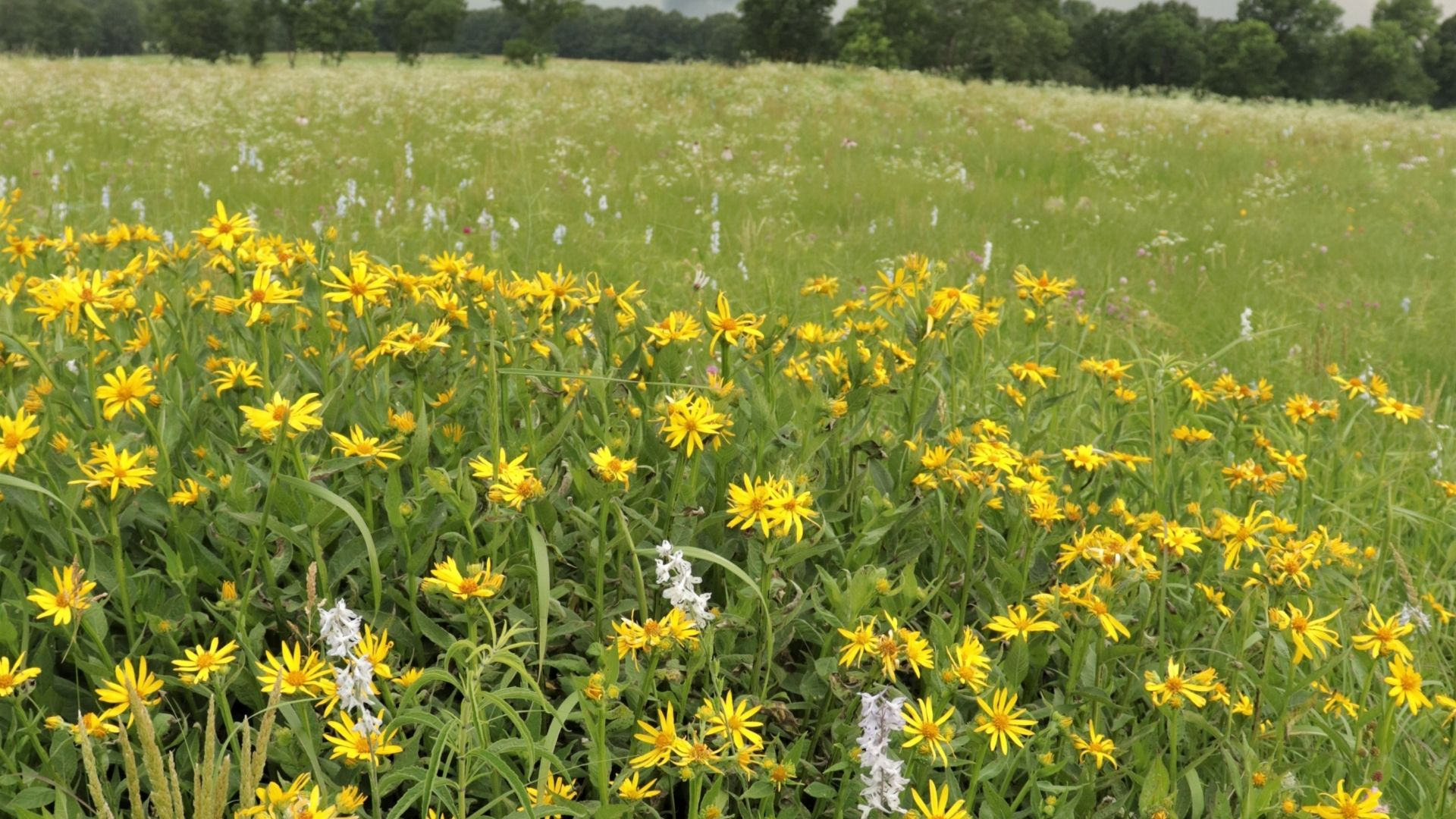 Green field with yellow and white flowers