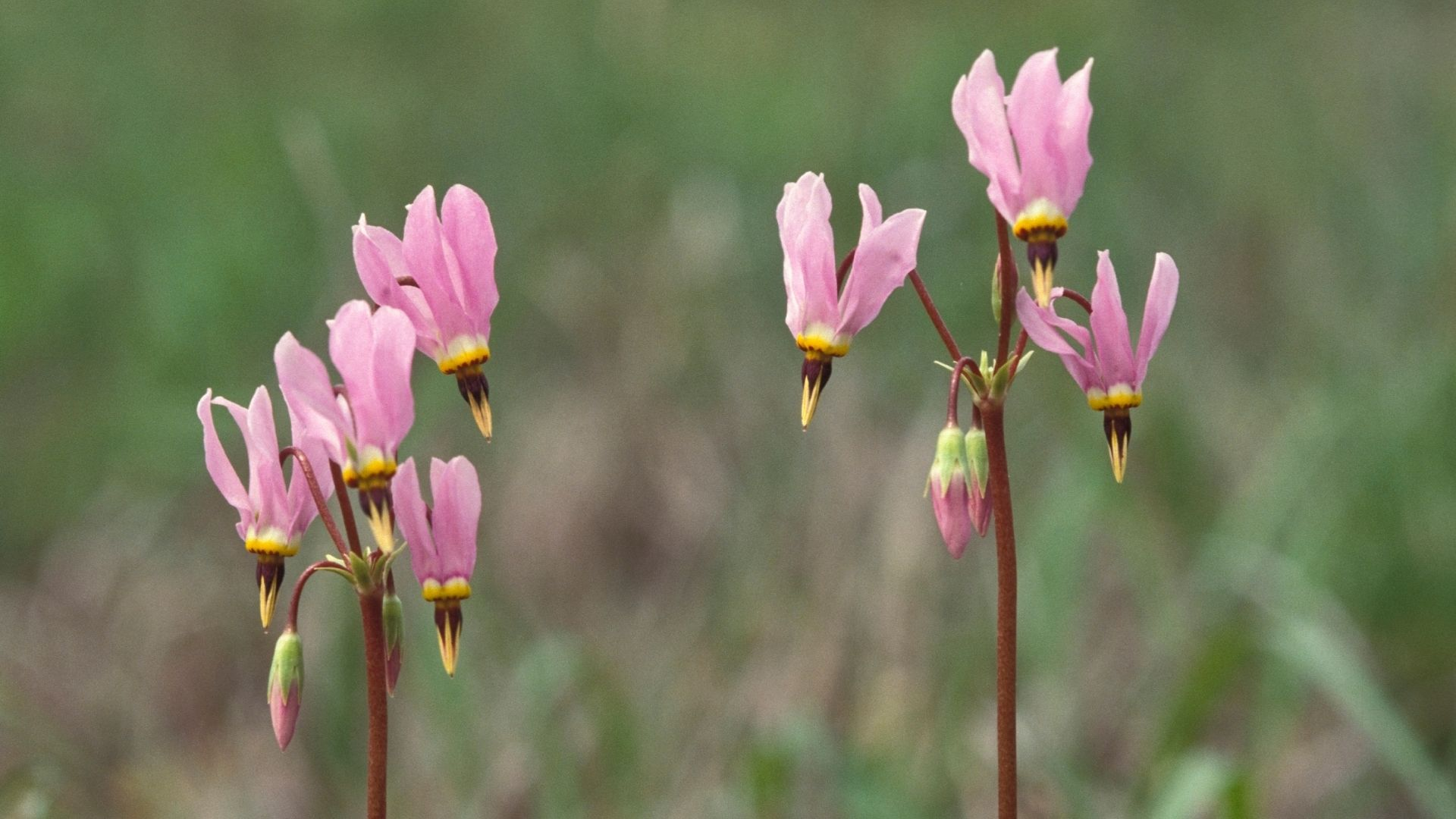 pink shooting star plants