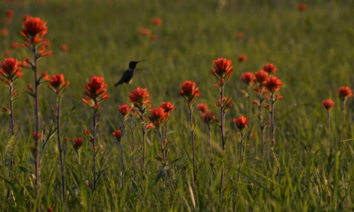 dark silhouette of a hummingbird flying in front of bright orange flowers
