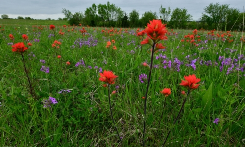 Bright orange paintbrush flowers and bright purple phlox flowers in a green field