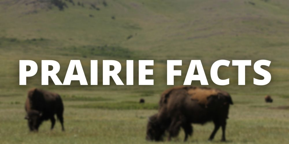 """Button for """"Prairie Facts"""" with blurred bison in the background"""