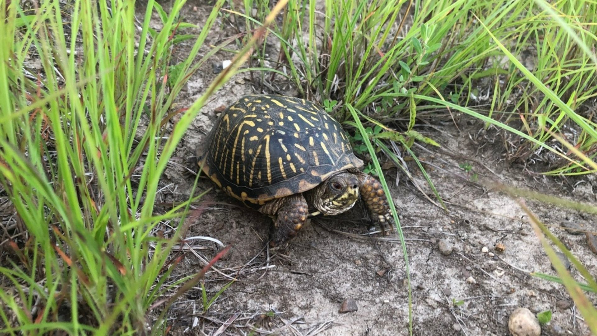 A brown ornate box turtle with yellow markings on the shell, walking out from green grass on bare ground